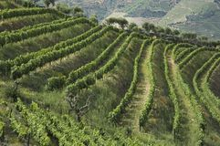 Wine terraces Stock Photo