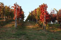 Wine trees of vineyard. Beautifully colored wine trees in Moravia vineyards in the sun during young wine festival royalty free stock photos