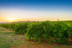 Wine valley at sunset Stock Image