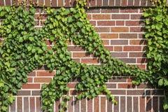 Wine vine brick wall background Royalty Free Stock Image