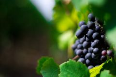 Wine vine yard. A wine vine yard in north of spain Royalty Free Stock Photography