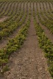 Wine vine yard. A wine vine yard in north of spain Stock Photography