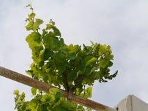 Wine vines opposite a blue sky Stock Photos