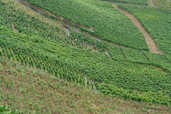 Wine vineyard. With grapes on a plantation Stock Image