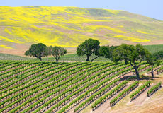 Wine Vineyard Stock Photography