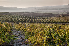 A wine vineyard in France. Stock Photo