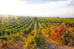 A wine vineyard in France. Royalty Free Stock Image