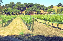 Wine Vineyard. This vineyard in the Santa Ynez Valley is located on the road to Los Olivos, a popular tourist destination with shops and restaurants stock photo