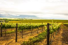 Wine vineyard Royalty Free Stock Photo