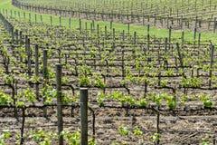 Wine Vineyard in Spring Royalty Free Stock Images