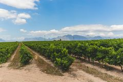 Wine vineyard in Stellenbosch on a beautiful day Royalty Free Stock Images