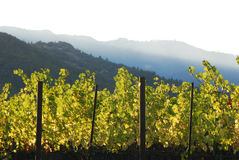 Wine vineyard in valley. Wine vineyard in Napa Valley at sunset Royalty Free Stock Photography
