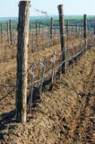 Wine vineyards in April . Spring foliation . Stock Photos