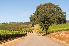 Wine Vineyards, Rows, Trellis, Road, Oak Tree and Sky. Road into Wine Vineyards with Rows, Trellis, Oak Tree and Sky in Spring royalty free stock photo