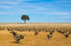 Wine, vineyards tree field with blue sky Royalty Free Stock Images