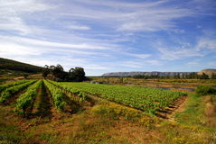 Wine yard. A wine yard on cloudy/sunny day Royalty Free Stock Photography