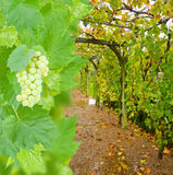Wine yard allwy with grape Stock Images