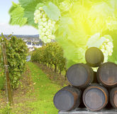 Wine yard with grape Stock Image