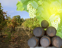 Wine yard with grape Stock Photography
