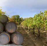 Wine yard with grape Royalty Free Stock Image