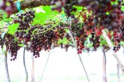 Wine yard Royalty Free Stock Photos
