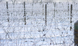 Wine yard in winter full of snow Royalty Free Stock Photos