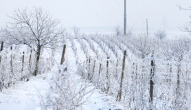 Wine yard in winter full of snow Stock Photography