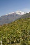 Wine yards in Veltlin Royalty Free Stock Image