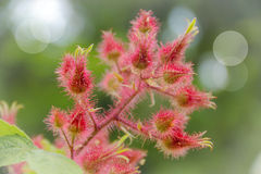 Wineberry Flowers Royalty Free Stock Images