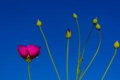Winecup (involucrata) del Callirhoe Texas Native Wildflower Fotografía de archivo