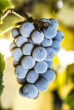 Winedruvor Royaltyfri Bild