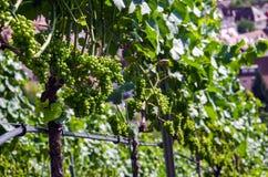 Winedruvor Royaltyfria Bilder