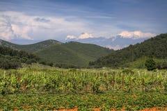 Winefields de Korcula Imagen de archivo libre de regalías