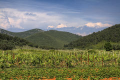 Winefields of Korcula Royalty Free Stock Image