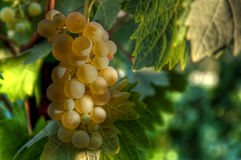 Winegrape clusters in the vineyard Stock Photography