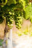 Winegrape in Duitsland Stock Foto's