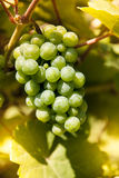 Winegrape in Duitsland Stock Foto