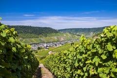 Winegrape in Duitsland Royalty-vrije Stock Foto