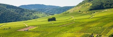 Winegrape in Duitsland Royalty-vrije Stock Afbeeldingen