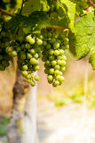 Winegrape in germany Stock Photos