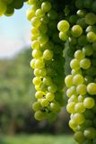 Winegrape in sunlight Royalty Free Stock Photos