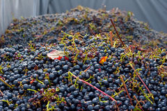 Winegrapes. A bunch of winegrapes in a huge can Stock Photo