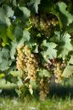 Winegrapes Royalty Free Stock Photos