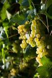winegrapes Στοκ φωτογραφία με δικαίωμα ελεύθερης χρήσης