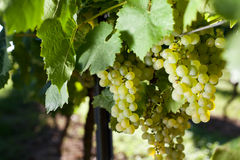Winegrapes. At a huge vineyard Stock Images
