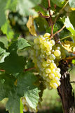Winegrapes. At a huge vineyard Royalty Free Stock Images