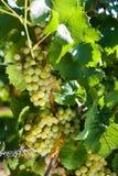 winegrapes Στοκ Εικόνες