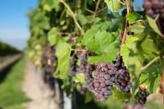 winegrapes Στοκ Εικόνα