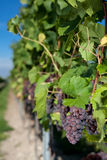 Winegrapes Stock Image