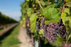 winegrapes Στοκ Φωτογραφίες